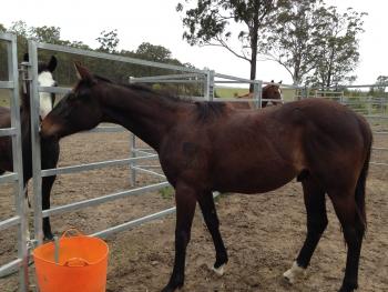 horse rescue - horse adoption