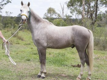 Diesel the stallion adopted - horse rescue and rehabilitation