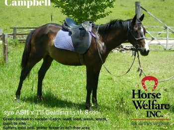 Campbell - adopted - horse rescue - horse rehabilitation