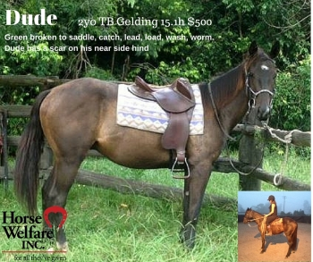 dude, adopted, horse rescue, horse rehabilitation